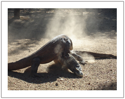 Komodo Dragon at Komodo island and Rinca island