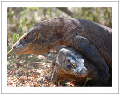 Giand lizard of Komodo dragon in Komodo and Flores island