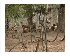 Wild Deer at Komodo island